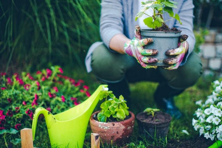 Person pflanzt kleine Geranie im Garten